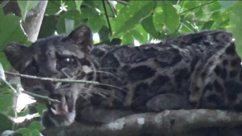 FOTO : Seekor Macan Dahan yang Berhasil diambil dengan Zoom Kamera.