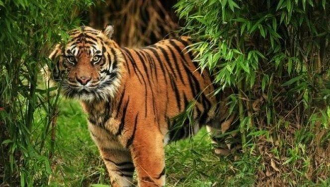 FOTO : Ilustras Harimau Sumatera/Ist