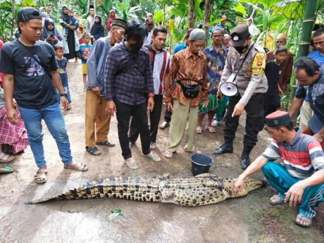 Penampakan Buaya yang ditangkap Warga Parit Bilal Tangkap Sepanjang 2,5 Meter. FOTO : Ist