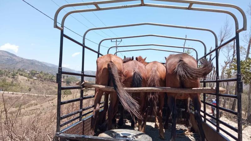 Empat Ekor Kuda Berikut Kendaraan Diamankan Petugas Pos Lamaknen Kipur II Pamtas Sektor Timur Yonif 742/ SWY. FOTO : lintastimor.com