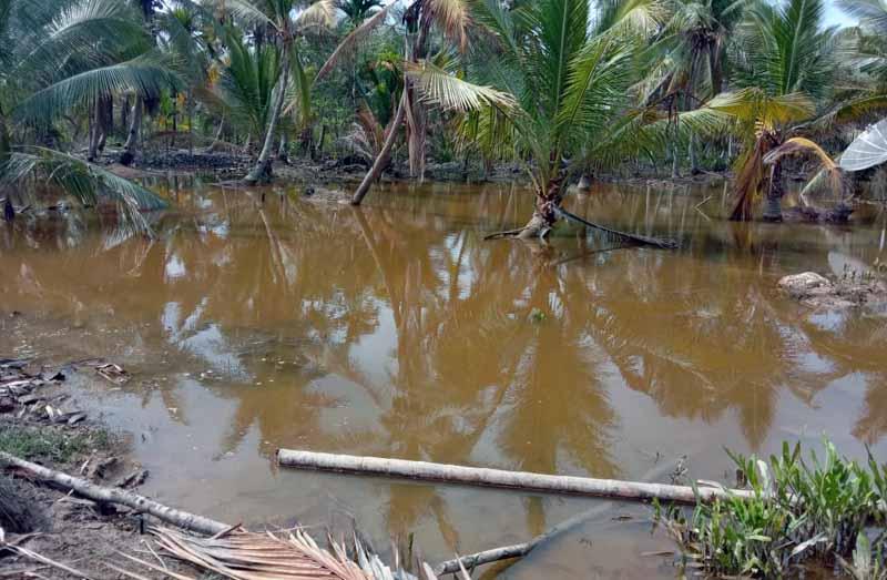 FOTO : Kondisi Genangan Banjir di Perkebunan Warga Parit Selamat Desa Muara Seberang, Kecamatan Seberang Kota, Tanjung Jabung Barat.