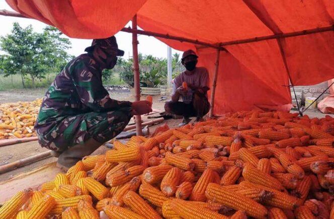 FOTO : Serda Saharudin, anggota Babinsa Koramil 04/Nipahpanjang Kodim 0419/Tanjab saat ikut memanen jagung di Desa Airhitam Laut, Rabu (27/01/21)