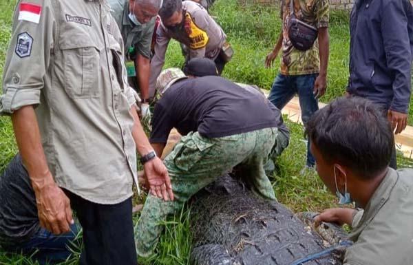 Evakuasi Buaya Jumbo 400 kg dari Penangkaran Warga di Muaro Jambi. (FOTO : dok. BKSDA/Detik.com)