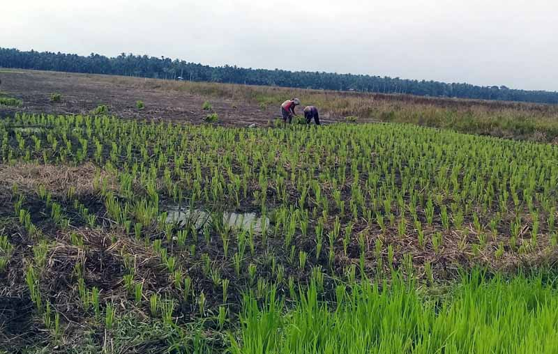 FOTO : Salah Satu Sawah Padi Milik Petani di Kecamatan Senyerang.