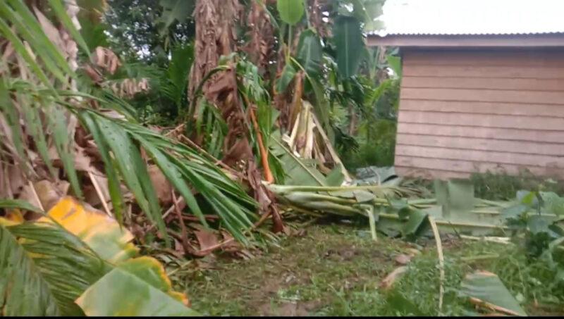 FOTO : Kondisi Perkebuna Warga yang dirusak Gajah pada malam Hari Desa Tanjung Bojo Kecamatan Batang Asam, Sabtu (28/12/19)