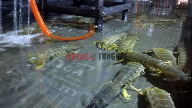 FOTO : Udang Ketak di Salahsatu Pengepul di Kuala Tungkal TanjungJabung Barat/Foto.abs
