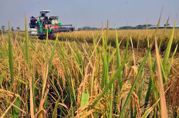 Petani memanen padi dengan mesin pemanen di lahan tidur di Desa Bulungcangkring, Jekulo, Kudus, Jawa Tengah, Senin (23/8). Pemerintah resmi membentuk Badan Pangan Nasional (BPN) melalui penerbitan Peraturan Presiden Nomor 66 Tahun 2021. Foto: ANTARA/Yusuf Nugroho